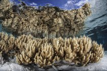 Soft leather corals in shallow water — Stock Photo
