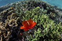Spinecheek anemonefish natation sur corail — Photo de stock