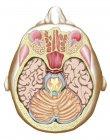 Illustrazione medica della sezione trasversale del mesencefalo — Foto stock