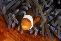 False clownfish in tentacles of anemone — Stock Photo