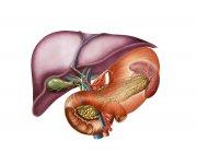 Vista antero-visceral de la anatomía hepática - foto de stock