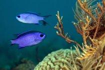 Голубые хромисы, плавающие над кораллами — стоковое фото