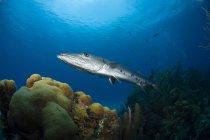 Grand barracuda natation sur corail — Photo de stock