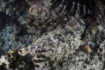 Crocodilefish colocación en lecho marino - foto de stock