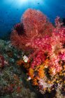Red sea fan and soft coral — Stock Photo