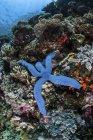 Estrella de mar azul aferrada al arrecife - foto de stock