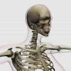 Medical illustration of skull and skeletal system — Stock Photo