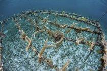 Corales Staghorn creciendo en marcos - foto de stock