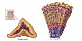 Ilustración médica de la anatomía de la glándula suprarrenal sobre fondo blanco - foto de stock