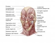 Facial muscles of the human face with labels — Stock Photo