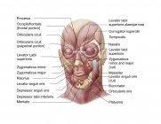 Músculos faciales de la cara humana con etiquetas - foto de stock
