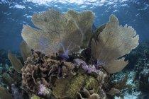Gorgonáceas coloridas em águas rasas — Fotografia de Stock