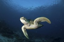 Green turtle swimming in blue water — Stock Photo