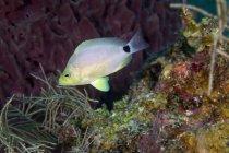 Butter Hamlet nadando por los arrecifes de coral - foto de stock