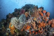 Colorful corals growing on reef — Stock Photo