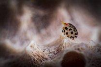 Tiny spotted amphipod — Stock Photo
