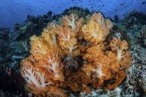 Colonie di corallo morbidi crescendo sulla barriera corallina — Foto stock