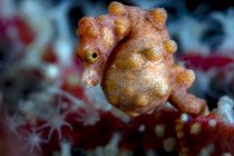 Caballo de mar pigmeo embarazada - foto de stock