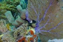 Bi-color damisela nadando cerca de ventilador de mar - foto de stock