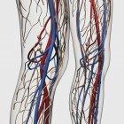 Ilustración médica de arterias, venas y sistema linfático en las piernas humanas - foto de stock