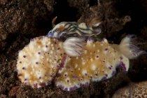 Mexichromis multituberculata and hypselodoris nigrostriata slugs — Stock Photo