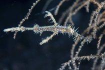 Pipefish fantôme orné près des branches de corail — Photo de stock