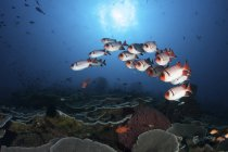 School of soldierfish hovering above reef — Stock Photo