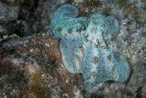 Pulpo azul en Roatán - foto de stock