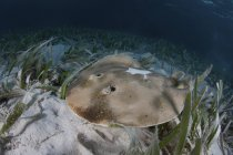 Caribbean electric ray laying on seafloor — Stock Photo