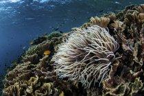 Ветреница на красочных рифов — стоковое фото