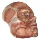 Anatomía de los músculos faciales humanos - foto de stock