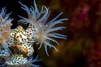 Colorida colonia de anémonas de tigre - foto de stock