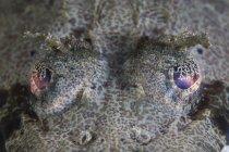 Occhi di pesce a testa piatta cornuti — Foto stock
