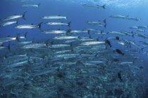 École de barracudas nageant au-dessus du récif — Photo de stock