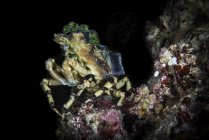 Décorateur crabe assis sur le récif — Photo de stock