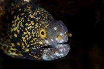 Snowflake moray eel on reef — Stock Photo