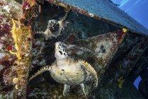 Tartaruga a guardare la riflessione sotto il naufragio — Foto stock