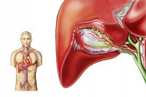 Medical illustration of gall bladder ganglion anatomy — Stock Photo