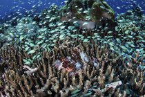 Escuela de damiselas alrededor de scorpionfish - foto de stock