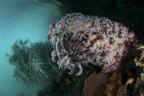 Cetrioli crinoidi e marini su spugna a botte — Foto stock