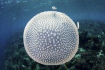Medusa maculata di bianco vicino alle Piccole Isole della Sonda — Foto stock