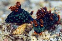 Спаривание Nembrotha nudibranchs — стоковое фото