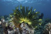 Bunte Seelilie auf flachem Riff in der Nähe der Floreinsel in Indonesien — Stockfoto