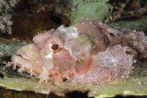 Escorpión en el fondo marino tiro de primer plano - foto de stock