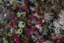 Colorful tunicates with coral polyps — Stock Photo