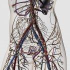 Ilustración médica de arterias, venas y sistema linfático en la sección media femenina - foto de stock