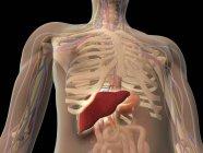 Vista transparente del torso humano que muestra el hígado - foto de stock