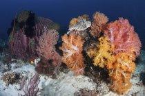 Coraux colorés poussant sur le récif — Photo de stock