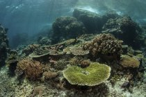 Corales sanos para la construcción de arrecifes en arrecifes - foto de stock