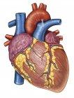 Anatomía bruta del corazón humano - foto de stock